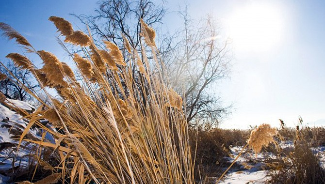 Vile weed! Restoring shoreline with controlled reed removal