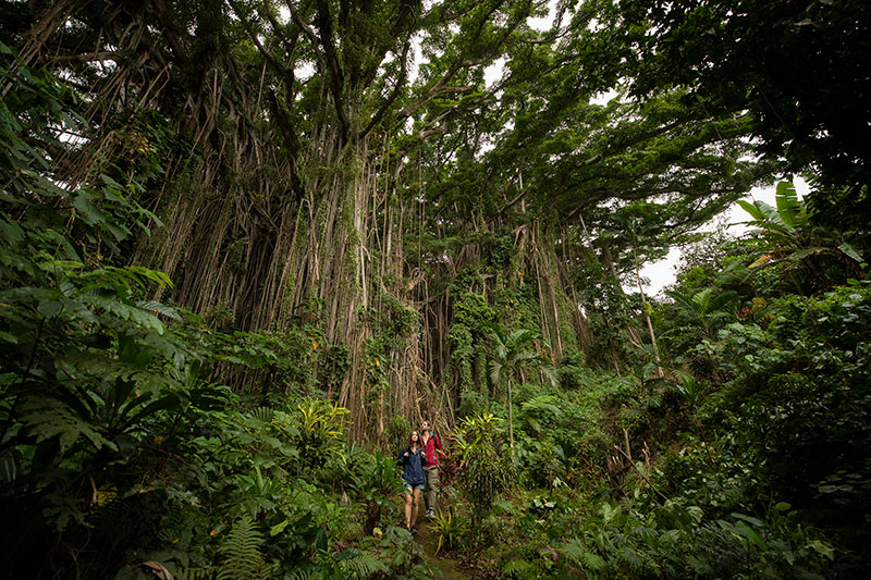 The Giant Banyan Tree of Vanuatu. Supplied.