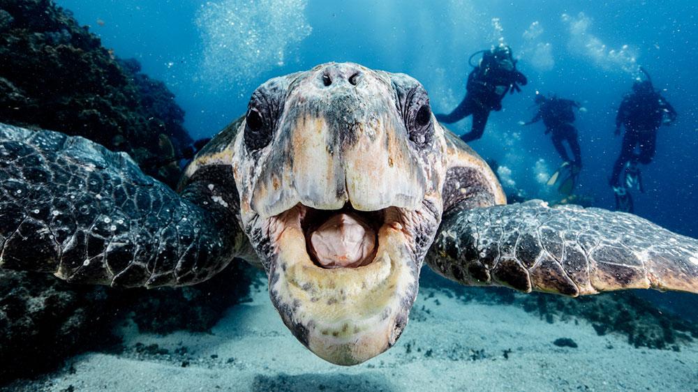 A loggerhead turtle at Julian Rocks. Credit: Simone Caprodossi