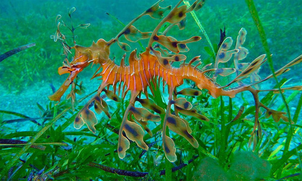A leafy sea dragon. Credit: The Dive Shack / Facebook.