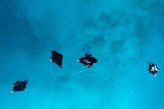Wild manta rays. Supplied.