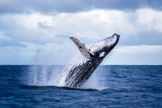 A whale breaching on the NSW South Coast