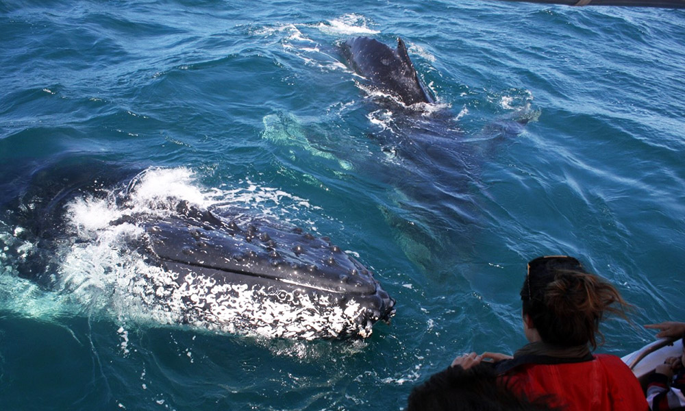 Up close with a humpback whale. Credit: Dolphin Watch Cruises