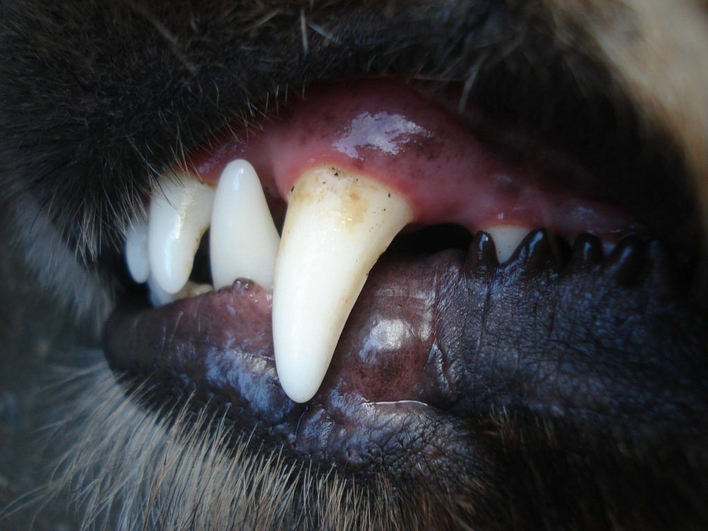 brushing dog teeth los lunas