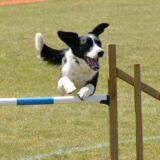 Jump, Jive, and Dog Agility