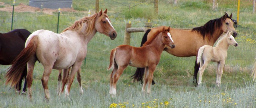 red roan and gg with 2004 foals