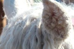 inside lilly ear 7-31-11