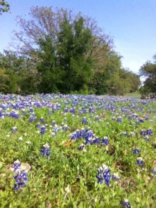 Brownwood Texas BlueBonnets