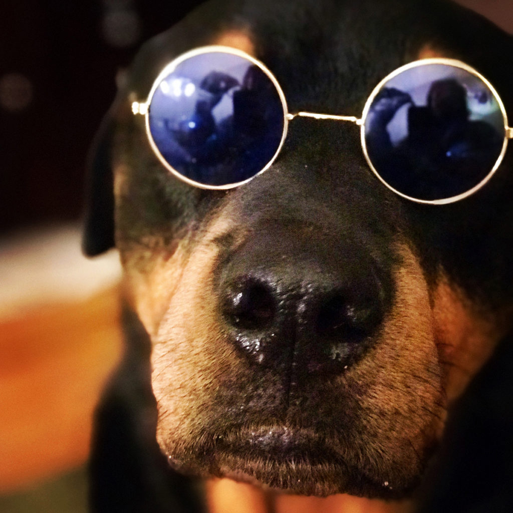 Black and Brown dog with sunglasses on