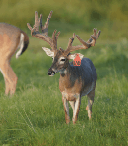 M3-Red 1749 is among our premium 2017 whitetail bucks for sale on our Texas Deer Farm.