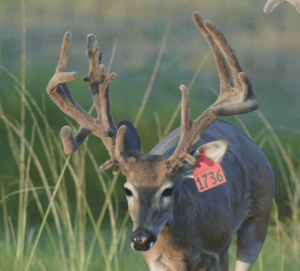 M3-Red 1736 is among our premium 2017 whitetail bucks for sale on our Texas Deer Farm.