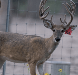 M3-Red 761 is among our premium 2017 whitetail bucks for sale on our Texas Deer Farm.