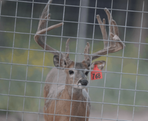 M3-Red 768 is among our premium 2017 whitetail bucks for sale on our Texas Deer Farm.