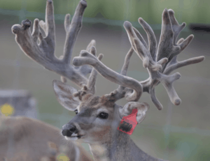 M3-Red 779 is among our premium 2017 whitetail bucks for sale on our Texas Deer Farm.