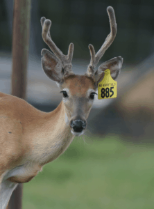 M3-Yellow 885 is among our premium 2018 whitetail bucks for sale on our Texas Deer Farm.