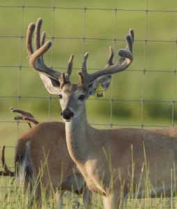 M3-Yellow 864 is among our premium 2018 whitetail bucks for sale on our Texas Deer Farm.
