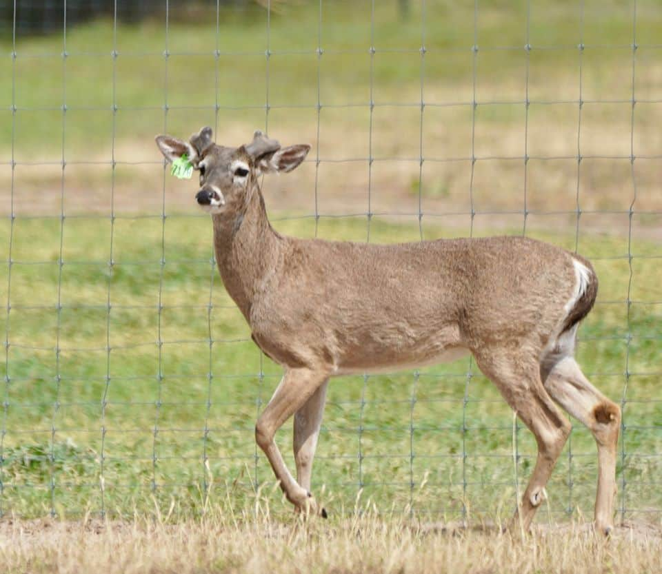 Starting to grow out here on our Texas deer farm, is M3-Green 7178. He is listed among our outstanding whitetail Breeder Bucks and represents just some of our high quality genetic lines.
