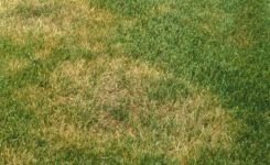 How Can I Avoid Brown Patch Disease on My Tall Fescue Lawn?