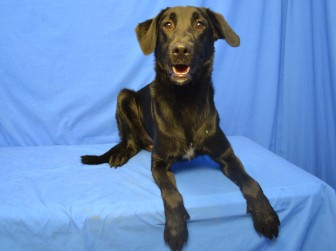 Dante the Lab mix is the 250th pet transferred to the APA this year.