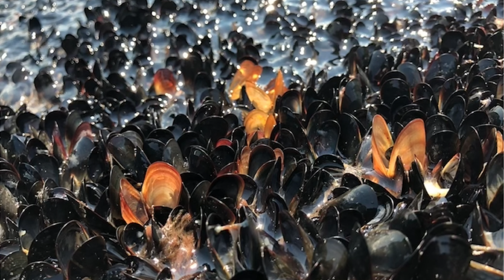 Dead mussels at the waterline