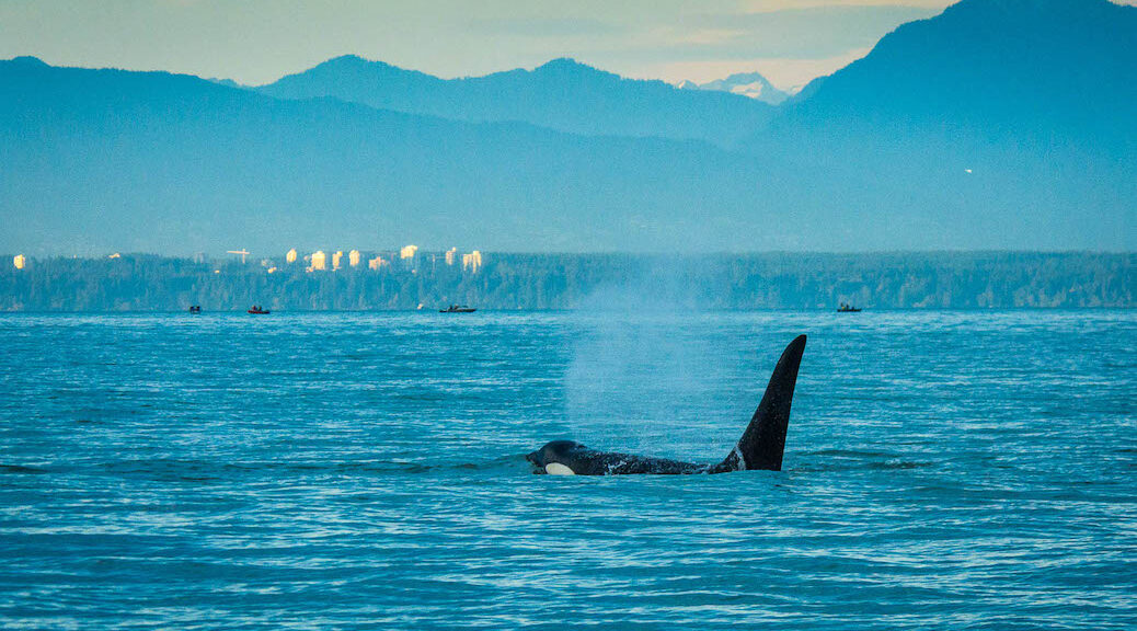 KIller Whale swimming in waters off Vancouver