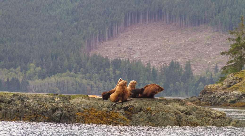 Two sea lions sit on rocks, a clearcut hillside is behind them