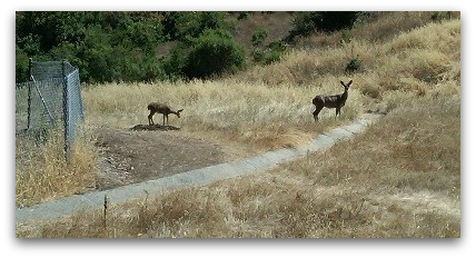 Two deer - Deer resistant landscaping
