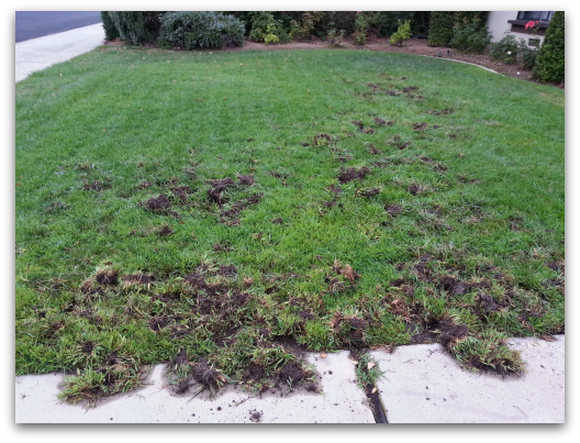 Los Gatos lawn after grub incited racoon attack
