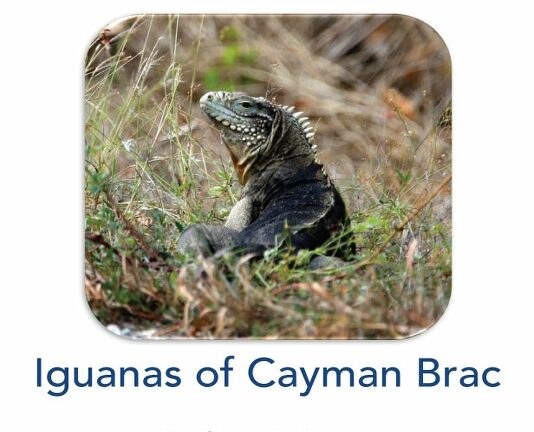 Saving the Sister Isle Rock Iguana