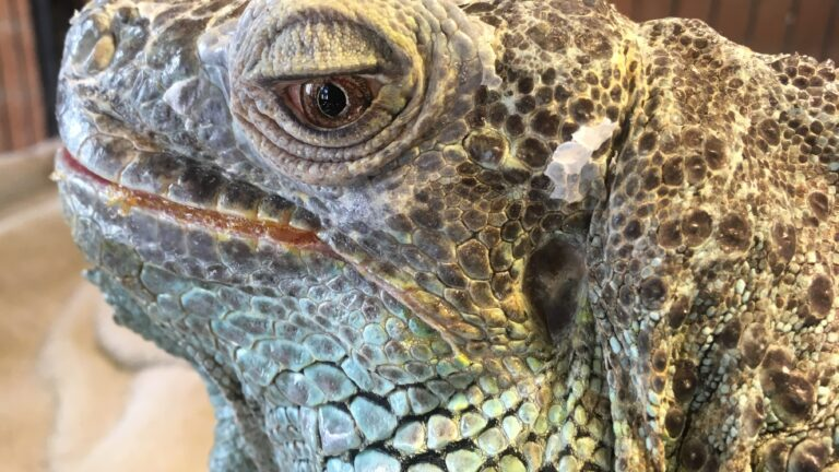 The Story of a Green Iguana Named Stella