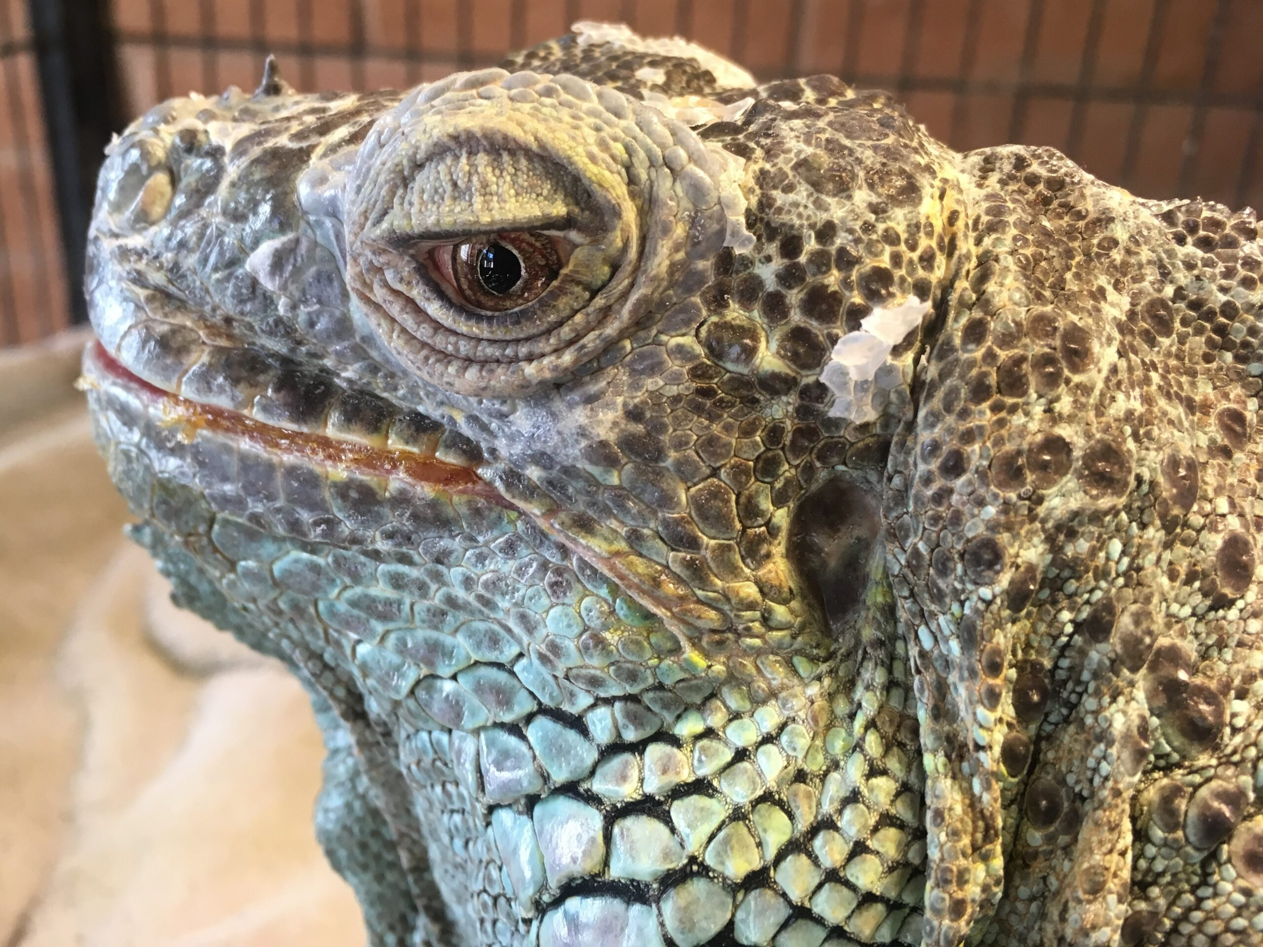 a closeup of the head of a green iguana