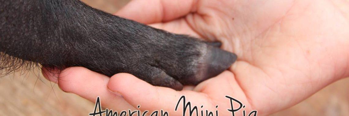 support mini pig rescue