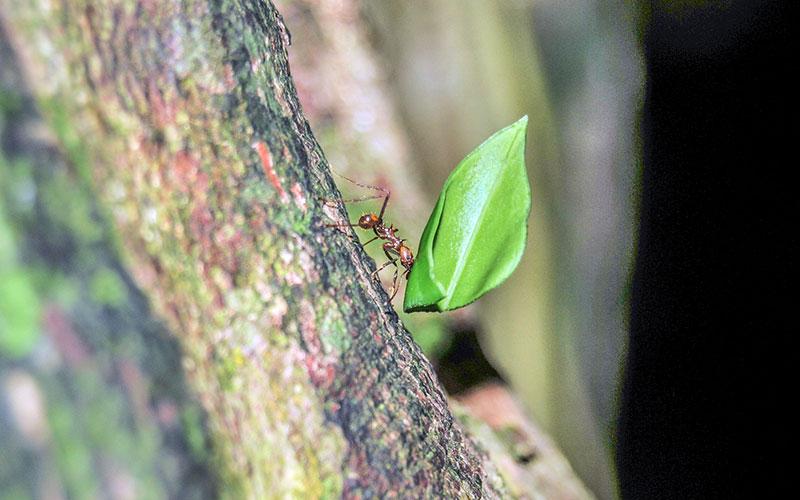 Ant carries green leaf