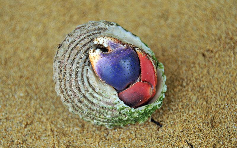 Colorful hermit crab on beach in Bocas del Toro, Panama
