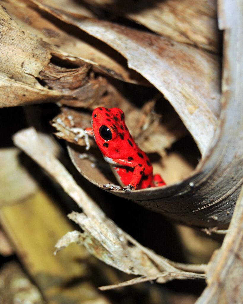 Red Frog, Isla Bastimentos, Panama