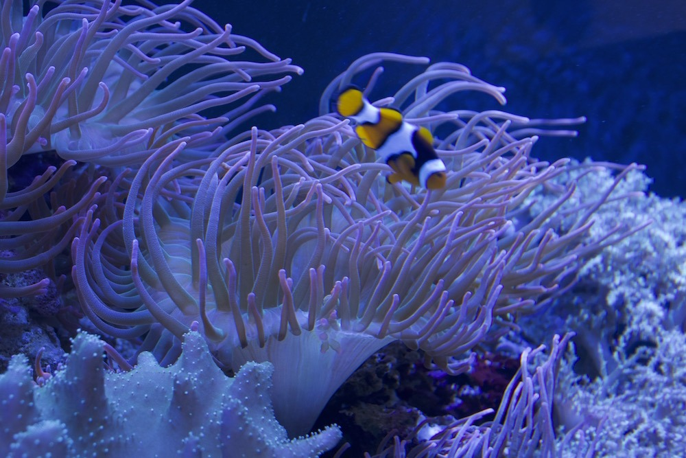 fish tank with anemone and clown fish