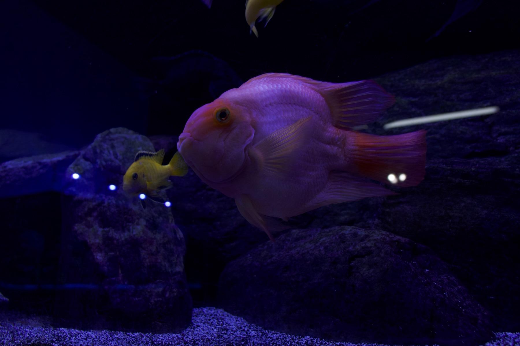 freshwater aquarium with orange exotic fish