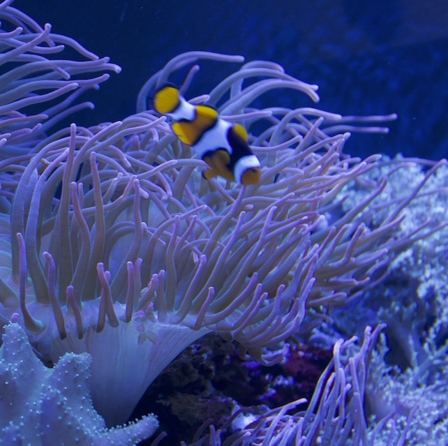 san diego aquarium clown fish with coral