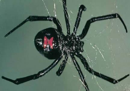 Female black widow spider in web