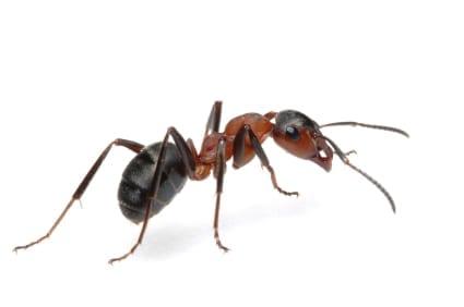 Ant Pest Control in Carefree Arizona