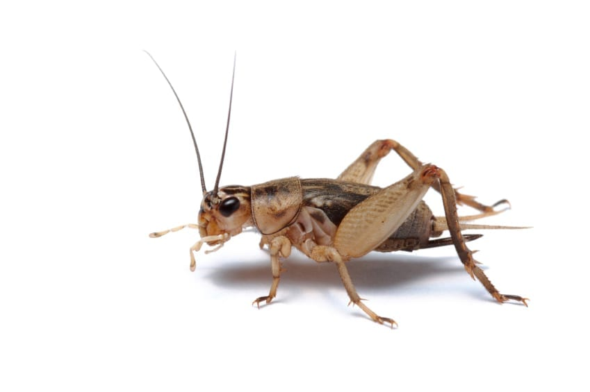 Cricket removal in Arizona