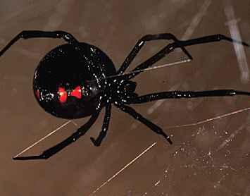 black widow spider in Arizona