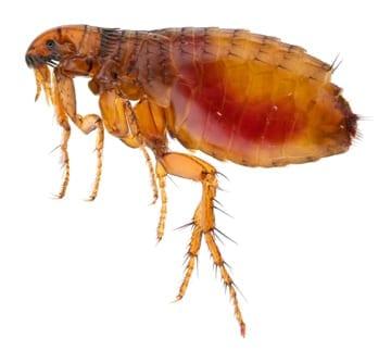 Signs of Fleas in Anthem Arizona