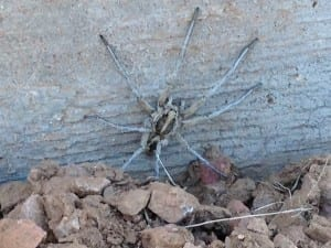 Wolf Spider Removal in Arizona