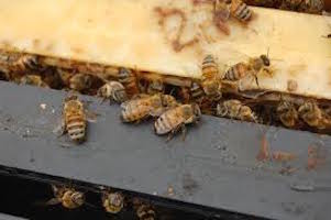 Bee Hive Removal in Laveen Arizona