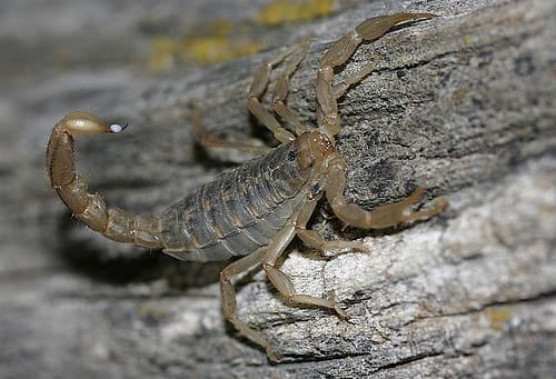 striped-tailed-wood-scorpion