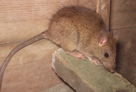 Facts about Rodents that are Entering Arizona Homes