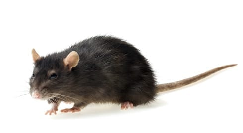 What to Know About Rodent Control in Arizona
