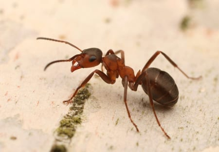 Ant Control in Arizona