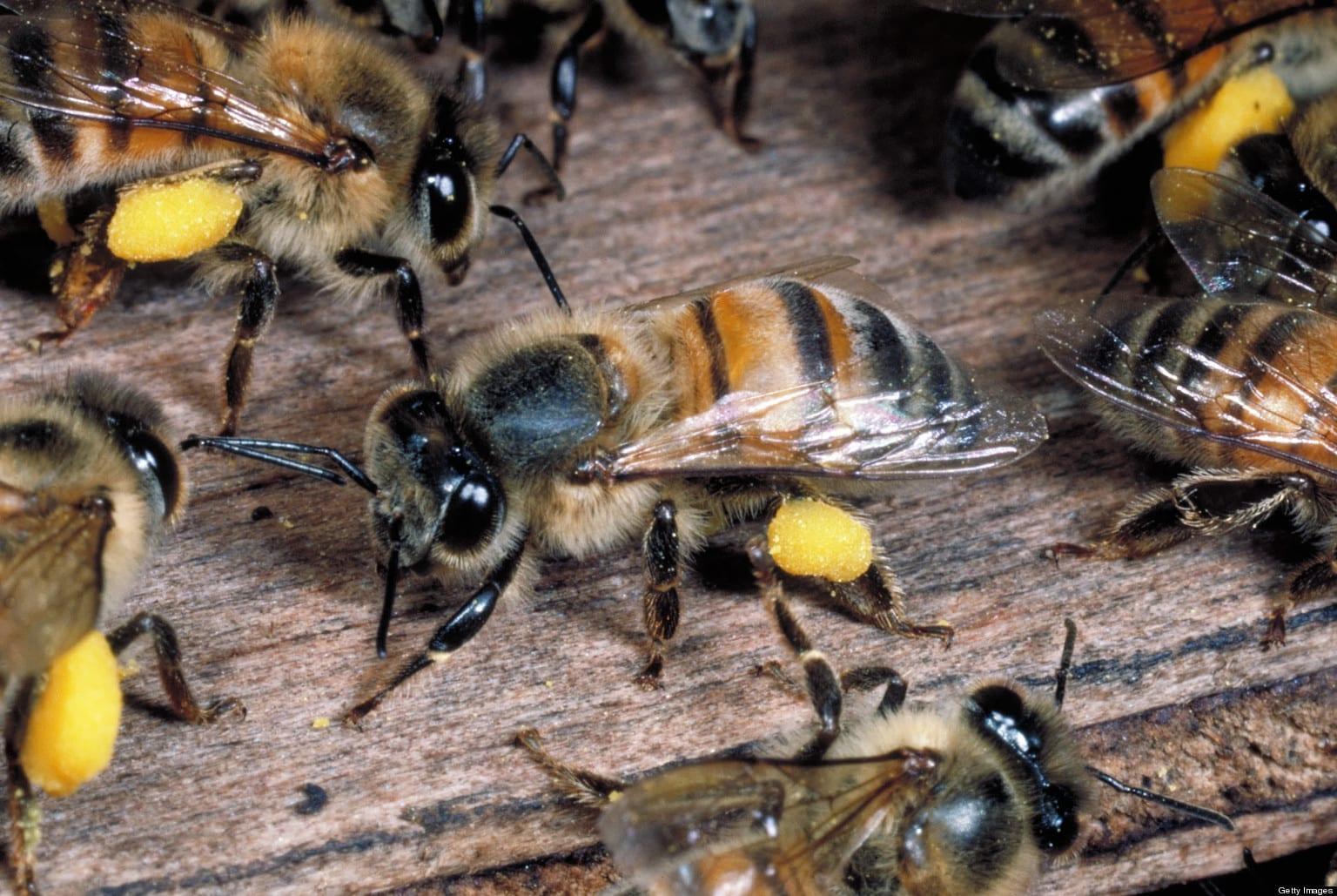 Africanized honey bee removal Phoenix